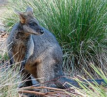 Wandering Wallaby by Ray Warren