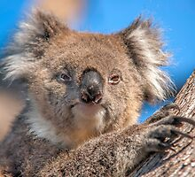 Cute Koala by Ray Warren