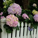 Hydrangea Over The Fence by Gabrielle  Lees