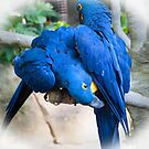 Parrots - Blue by julie08