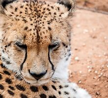 Cheetah by Ray Warren