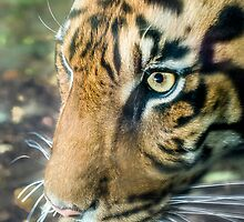 Eye Of The Tiger by Ray Warren