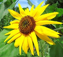 Sunflower in june by Brevis