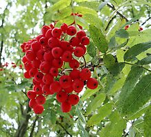 red berrys by Brevis