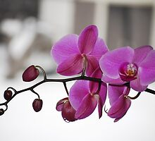 Orchid by Arthur  Chin Yet