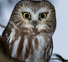 Northern Saw-Whet Owl by Bill McMullen