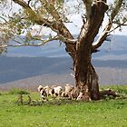 HIgh up Sheep Country Via Oberon NSW by Virginia  McGowan