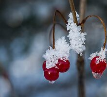Frost Berries by TedRaynorPhotos