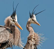 Great Blue Herons by Heron-Images