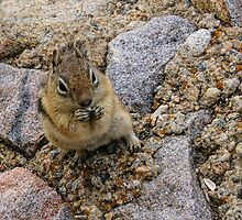 Chipmunk Eating Sunflower Seeds by adastraimages