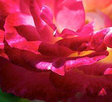 Exquisite Rose by Renee Hubbard Fine Art Photography