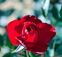 Shadowy Red Rose by jayneeldred