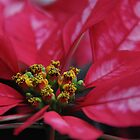 Poinsettia Passion by Poete100