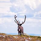 Majestic Reindeer by Michael Brewer