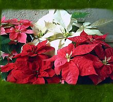 Mixed color Poinsettias 3 Blank P1F0 by Christopher Johnson