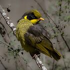 Helmeted Honeyeater - Endangered Fledgling by kim wormald