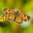 Pearl Crescent by Nancy Barrett