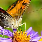 American Lady Butterfly on Aster by Nancy Barrett