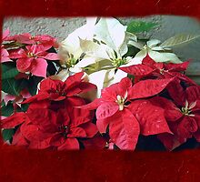 Mixed color Poinsettias 3 Blank P5F0 by Christopher Johnson