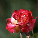 flower-red-white-rose by Joy Watson