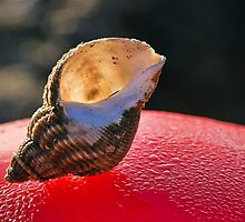 Common Whelk Shell by Susie Peek