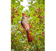Red Bird Amidst Red Berries Photographic Print