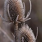 Teasel heads by Christopher Cullen