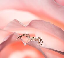 Crab spider on a pink rose by viktori-art