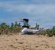 Crested Tern on Penguin Island by kalaryder