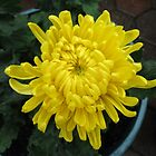 Sunshine in Rain - Yellow Chrysanthemum by BlueMoonRose