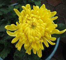 Little Sun -  Bright Yellow Chrysanthemum by BlueMoonRose
