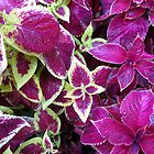 Autumn Coleus by BlueMoonRose