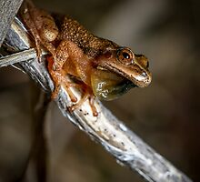 By the Pond, Spring Peeper (Pseudacris crucifer) by Dave Huth