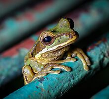Peeking Through the Grate, Masked Tree Frog (Smilisca phaeota)  by Dave Huth