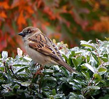 SPARROW (1) by pepperandy