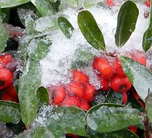 HOLLY-BERRIES (2) by pepperandy