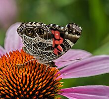 Zebra Swallowtail (Eurytides marcellus) by Bernd F. Laeschke