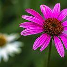 Echinacea Purpurea by Bernd F. Laeschke