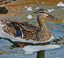 Lonely Mallard by Gary Horner