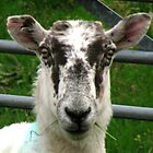 Cheviot Sheep - Close-up by BlueMoonRose