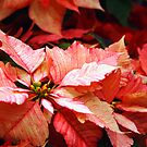 Variegated Poinsettia by Linda  Makiej