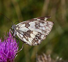 Butterfly by Bernd F. Laeschke