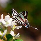 Zebra Swallowtail by Bernd F. Laeschke