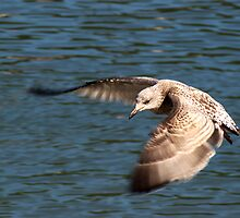 Great black backed gull Juvenile by Chris Day
