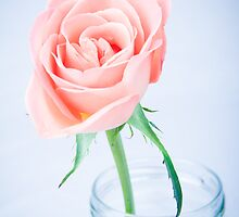 Macro Rose by Michael Hollinshead
