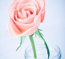 Macro Rose by Michael Hollinshead