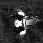 Reflections of a Merganser in b & w by jozi1