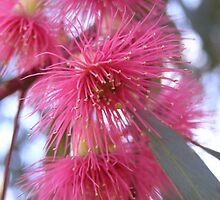 Gum blossom in pink by Pauline Sykes