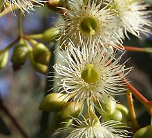 White Gum Blossom by Pauline Sykes