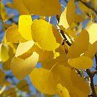 Aspen leaves by Paul Simms